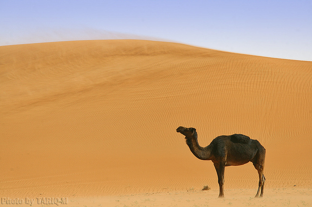 Blowing sand with lovely Camel - Explore Front Page
